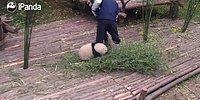 Sevimliliği ile Dadısının Çalışmasına Engel Olmaya Çalışan Panda