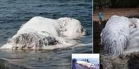 Bilim İnsanları Açıkladı! Filipinler'de Karaya Vuran Beyaz Tüylü Dev Canavarın Sırrı