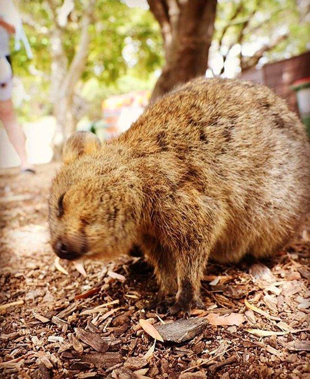 Rottnest, Avustralya'da bulunan böyle minnoş Quokka'larla karşılaşabileceğiniz minnoş bir yer.