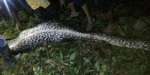 Endonezya'da Bir Köyün Sakinleri Kayıp Vatandaşı Dev Piton Yılanının Midesinde Buldu!