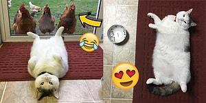 Instagram'ın Yükselen Yıldızı: Karşınızda Tavuklara Fısıldayan Miskin Kedi Scruffles!