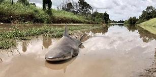 Debbie Kasırgası'nın Etkisiyle Kendini Avustralya'nın Sokaklarında Bulan Boğa Köpek Balığı