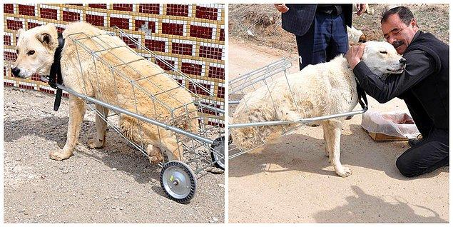 """Kırıkkale'de bir hayvanseverin, otomobil çarpması sonucu arka ayakları tutmayan """"Kostak"""" adlı sokak köpeğini """"yürüteç"""" işlevi gören pazar arabasıyla yürüttüğünü sizlerle paylaşmıştık."""