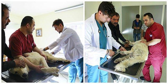 Kostak'ı muayene eden veteriner hekim Erdi Küçük: 'Sabırlı olmak gerekiyor'