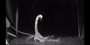 Ağır Çekim Görüntülerle Ölümcül Akrebin Saldırıya Hazırlanma Anı