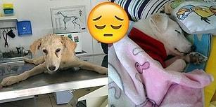 İnsanların Döverek Felç Bıraktığı Yavru Köpek Leyla'nın Üzücü Hikayesi