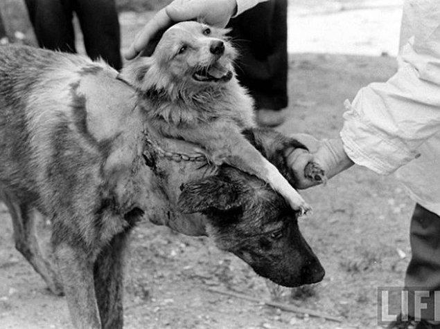 3. Çift başlı köpek deneyinin ilk 'sonucu'.