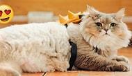 Şimdiye Kadar Gördüğünüz En Pofuduk Kedi Olmaya Aday Minnoşluk Abidesinden 21 Kare