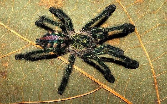 Derginin raporuna göre, örümceklerin boyutları tırnak büyüklüğünden insan suratı büyüklüğüne kadar değişiyor.