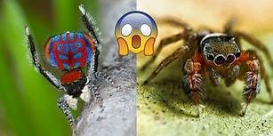 Örümcek Rezervlerinin %582'sine Sahip Avustralya'da Keşfedilen 50 Yeni Örümcek Türü