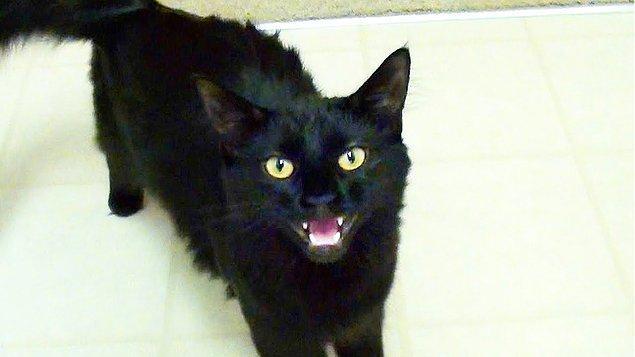 Kaldı ki dünyanın bazı kültürlerinde kara kediler iyi şans sembolü olmayı sürdürmektedir.
