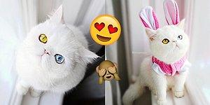 İçinde Kaybolmak İsteyeceğiniz Gözleri ve Sıradışı Bakışlarıyla Heterokromili Kedi Pam Pam