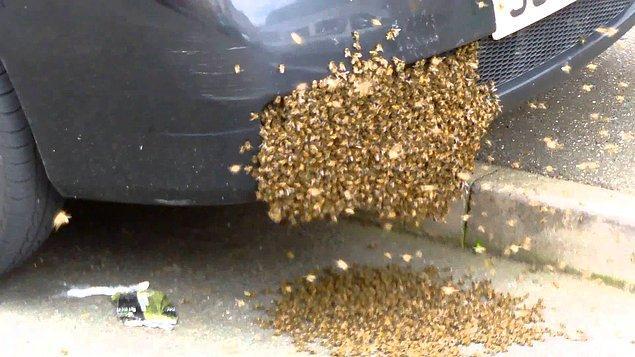 Sırf bu yüzden önüne gelen sıcak yerleri kovan sanan arıların, araba motorlarına, radyatörlere girerek ölmeleri de bu yüzdendir.