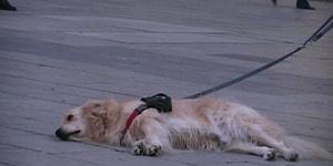 Sokak Sanatçısının Performansını Dinlemeyi Bırakıp Gitmek İstemeyen Köpek