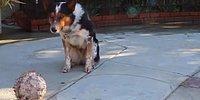 Çoğumuzdan Daha Disiplinli! Zeka Küpü Köpeğin Takdir Toplayan Komutlara Uyma Anı