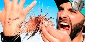 Doğal Yaşamın Derinlerine İnen Yürek Yemiş Adam, Zehirli Aslan Balığının İğnelerine Elini Batırdı