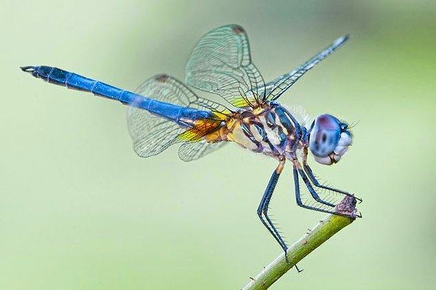 Kovalayan erkek yusufçuk, bir süre bekledikten ve dişiyi gözlemledikten sonra o bölgeden uzaklaşıyormuş.