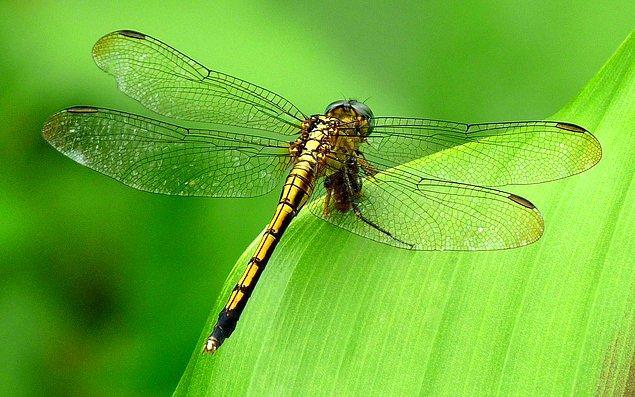 Dişi yusufçukların erkeklerden bu denli kaçmasının nedeni ise, diğer bazı türlerde olduğunun aksine bu türün erkeklerinin çiftleştikten sonra dişisini korumamasından kaynaklanıyor.