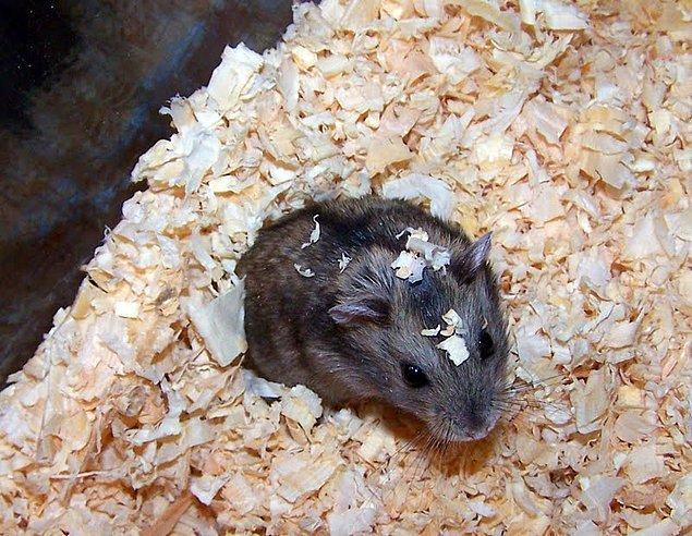13. Annenin, hamsterının kafesini söylene söylene temizlemesi de alışık olduğun durumlardan biridir.