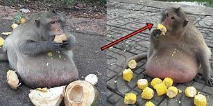 Tayland'da Turistlerin Abur Cuburlarına Yanlayıp Hunharca Tıkınan Obez Maymun