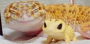 Kendine Benzeyen Oyuncağıyla Gülmelere Doymayan Leopar Gekosu Kohaku'yla Tanışın!