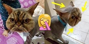 Pet Kuaförünün Yaptığı Tıraş Hatası Yüzünden Maskeli Kedi Olan Talihsiz Jin Jin!