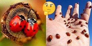Araştırmacılar Çalışmaya Başladı: Uçak Tasarımında Büyük Farklar Yaratabilecek Uğur Böceği Kanadı