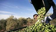 🌿 Üreticiler 'Zeytinliklerin Ölüm Fermanı' Demişti: Tartışmalı Madde, Kanun Tasarısından Çıkarılıyor!