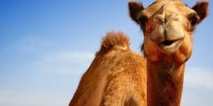 Tanıdık Gelebilir! Suudi Arabistan, 15 Bin Katar Devesini Sınır Dışı Etti...