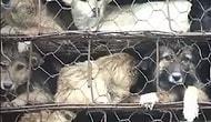 Yulin Festivali İçin Katliama Götürülen 800 Köpeği Kamyondan Kurtaran Güzel Yürekli İnsanlar