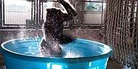 Leğenin İçindeki Gorilin Profesyonellere Taş Çıkartan Dans Performansı