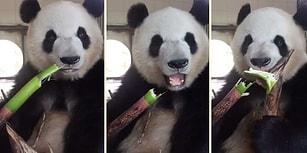 İzlemesi Aşırı Keyifli Şeylerde Bugün: Kütür Kütür Bambu Ağacı Yiyen Panda