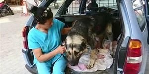 Köpeği Aracın Arkasını Bağlayıp Sürükleyen Adam, 300 Lira Cezayla Serbest!