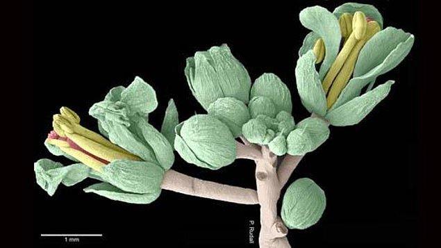 Bu familya içinde bulunan ve bir tere çeşidi olan Arabidopsis thaliana bitkisi üzerinde çalışılmış.