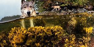 Pasifik Okyanusu Kıyısında Yaşayan ve Saatlerce Yüzebilen Vahşi Kurtlarla Tanışın!