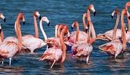 Onlar Sadece Bir Moda Objesi Değil: Türkiye'nin Korunmaya Muhtaç Zenginliği Flamingolar