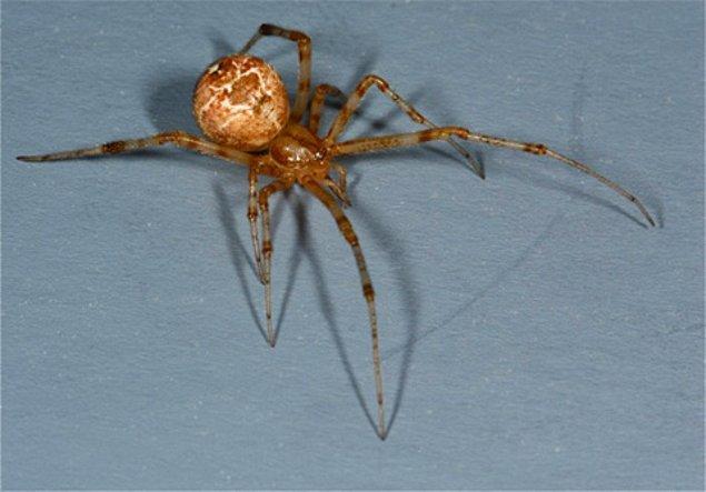 2. Erkek şemsiye örümceğinin vücuduna oranla o kadar büyük bir penisi vardır ki çiftleştikten sonra penisini vücudundan ayırması gerekir.
