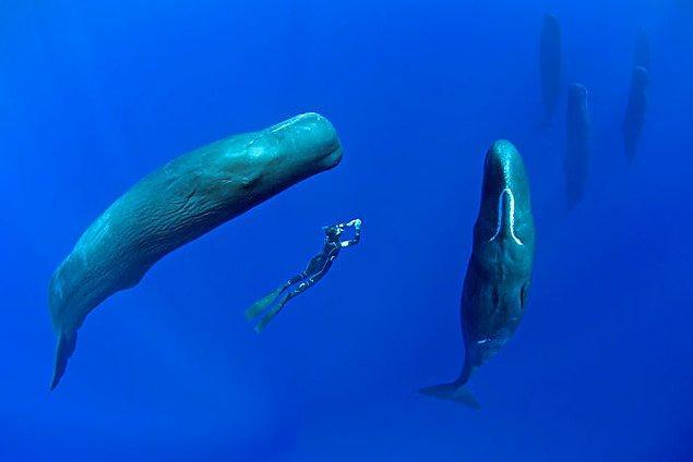 Profesyonel su altı fotoğrafçısı Franco Banfi, Karayip Denizi'ndeki bir grup ispermeçet balinasını takip ederek eşi benzeri görülmemiş fotoğraflar çekti.