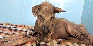 Güzel İnsanlar Tarafından Perişan Haldeyken Kurtarılan Köpeğin Geçirdiği Müthiş Değişim