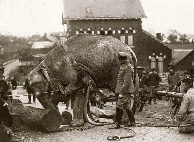 9. I. Dünya Savaşı'nın Batı Cephesi yakınına ağır kütükleri taşımak için Alman askerleri tarafından kullanılan bir fil, 1915.