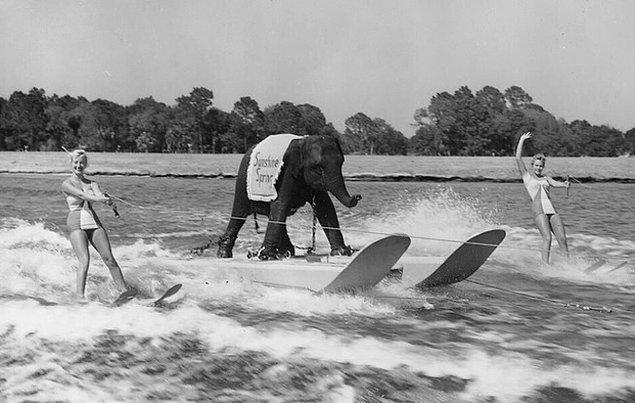20. Su kayağı yapan Queenie isimli bir fil, 1950'lilerin sonları.