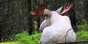 Nadir Bulunan Beyaz Geyiğin İsveç'te Kaydedilen Muhteşem Görüntüleri