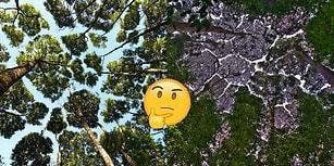 Ağaç Dalları Birbirine Dokunmadığında Ortaya Çıkan 'Taç Utangaçlığı'ndan 27 Kare