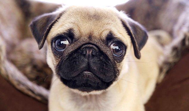 Sevgiline karşı tam bir Pug gibisin!