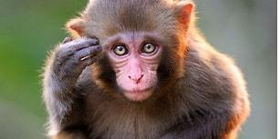 Görme Engellilere Umut Işığı Olabilecek Çözüm Bir Primatın Beyninde mi Yatıyor?