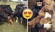 İneklerin Aslında Büyük ve Sevimli Köpekler Olduklarını Gösteren 29 Sımsıcak Kare