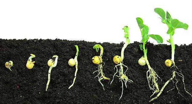 2. Her ektiğiniz tohum neden çimlenmeyebilir?