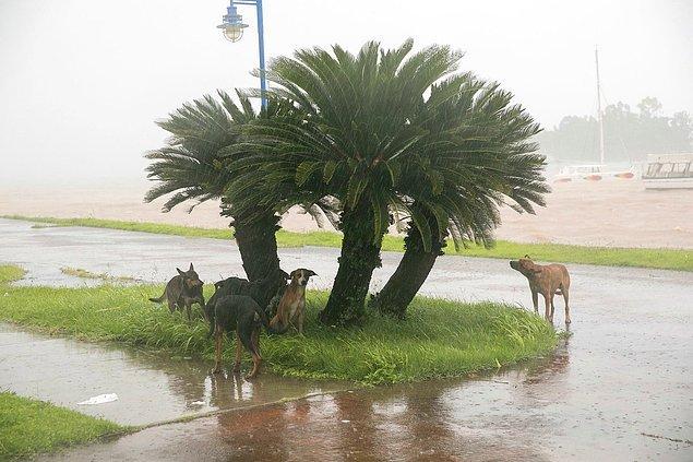10. Perşembe günü Dominik Cumhuriyeti'nde Samana şehrinde çekilmiş bu karede, yağmur ve rüzgardan bir ağacın altına sığınmış köpekler.