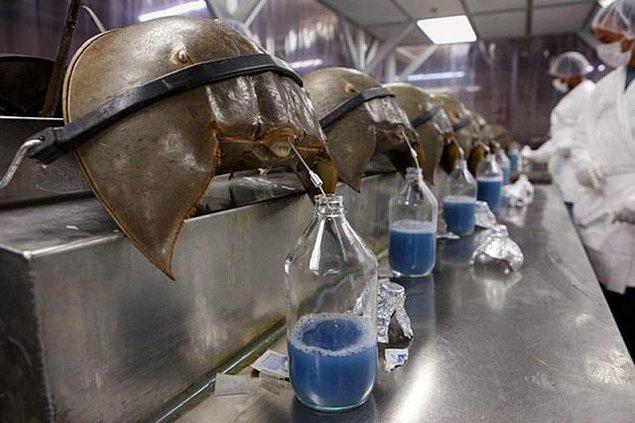11. At nalı yengeci kanı, bakteri tespit etme kabiliyeti nedeniyle litresi 15.000 dolara satılıyor.