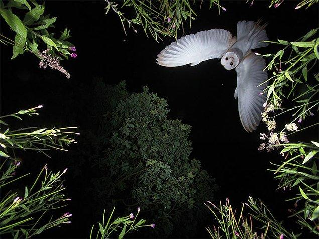 2. Barn Owl Hovering (Sallanan Peçeli Baykuş) - Roy Rimmer, İngiltere Kuş Davranışı Kategorisi